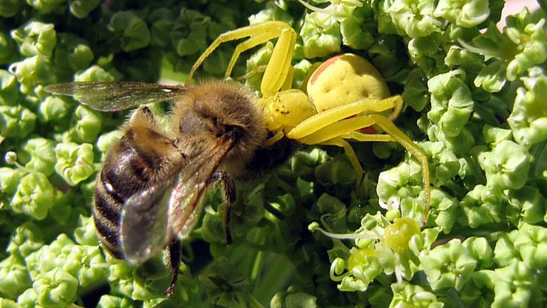 Spider vs. Honeybee