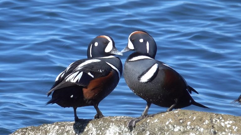 Diving Duck Diversity