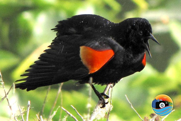 Red-Winged Wonders