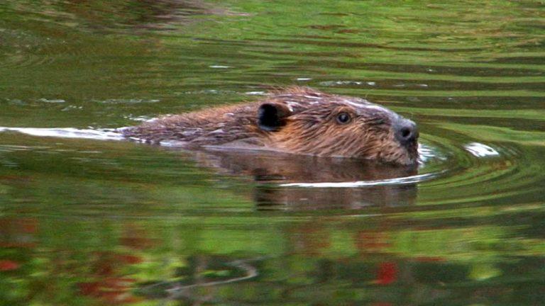 Beaver vs Bird