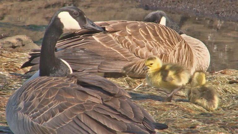 Of Geese & Goslings